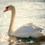 """Az állatok is belepusztulhatnak a lelki fájdalomba – A """"megszakadt szívű"""" hattyú tanítása"""
