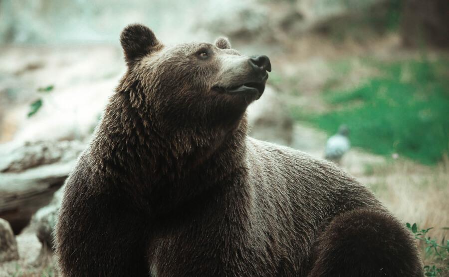 Mit jelent, ha medvével álmodsz?